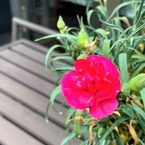 娘から届いたカーネーションが再び咲き始めました