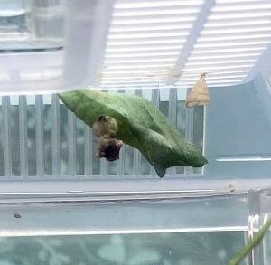 6月15日に生まれたアゲハの幼虫がサナギになりました