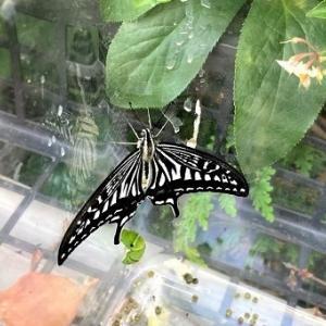 2021年5匹目のアゲハ蝶が羽ばたいて行きました