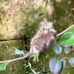 今日の庭 玄関前の椿に毛虫がどっさり