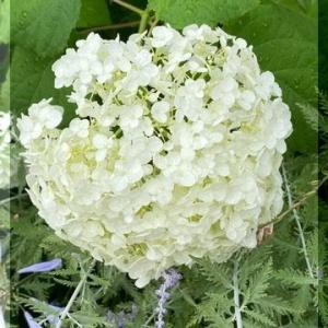 アナベル・紫陽花