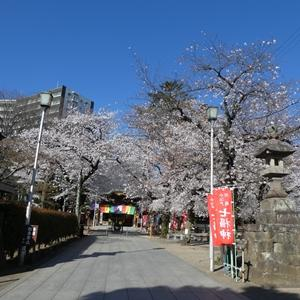 2020年3月25日 川越で桜を見る