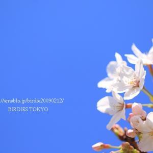 平成桜と日常