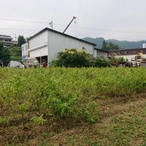 3日の荏胡麻畑