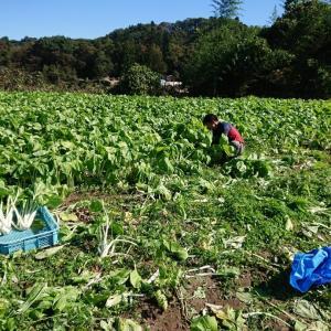 杓子菜の収穫