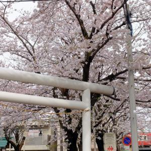 神明宮の桜と赤い京急