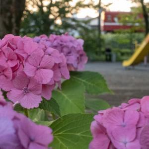 紫陽花と一緒に、通勤客を見送ろう
