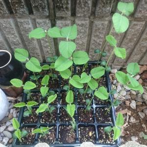 枝豆の苗の成長