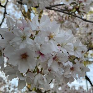 大文字山とお花見