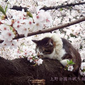 上野公園の眠り猫と桜