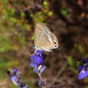 ウラナミシジミ/ Lampides boeticus