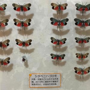 シタベニハゴロモ/ Lycorma delicatula