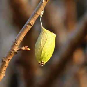 ウスタビガ/ Rhodinia fugax