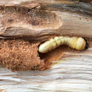 カミキリムシ/ Cerambycidae