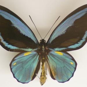メガネトリバネアゲハ/ Ornithoptera priamus admiralitatis