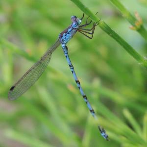 ホソミオツネントンボ/ Indolestes peregrinus