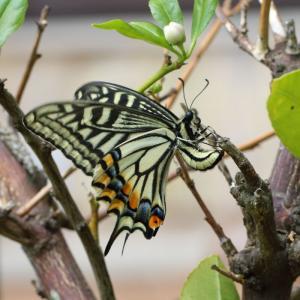 ナミアゲハ/ Papilio xuthus