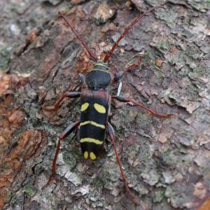 クリストフコトラカミキリ/ Plagionotus christophi