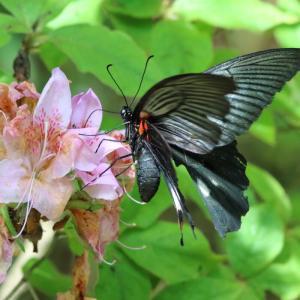 モンキアゲハ/ Papilio helenus