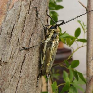 シロスジカミキリ/ Batocera lineolata