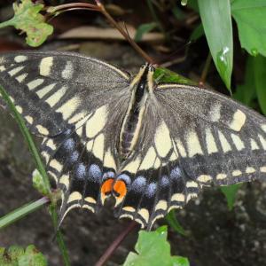 キアゲハ/ Papilio machaon