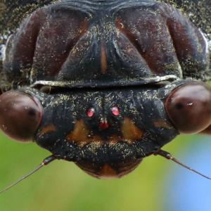 アブラゼミ/ Graptopsaltria nigrofuscata