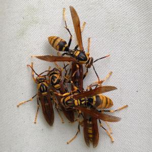 キアシナガバチ/ Polistes rothneyi