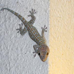 トッケイヤモリ/ Gekko gecko
