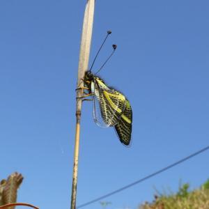 キバネツノトンボ/ Libelloides ramburi