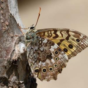ヤマキマダラヒカゲ/ Neope niphonica