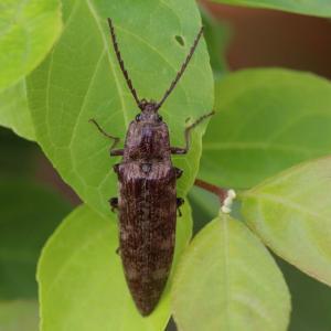 ヒゲコメツキ/ Pectocera fortunei