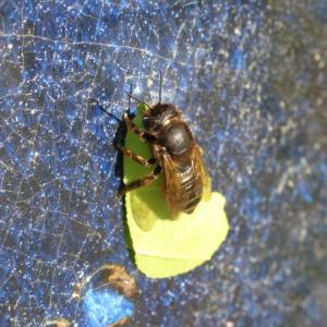 スミスハキリバチ/ Megachile humilis