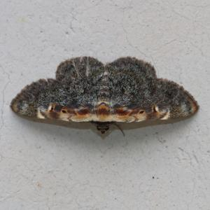 マエジロアツバ/ Hypostrotia cinerea