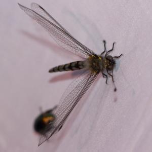 オオツノトンボ/ Protidricerus japonicus