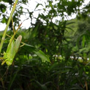 ヤブキリ/ Tettigonia orientalis