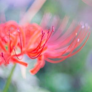 9月の花 その17 彼岸花