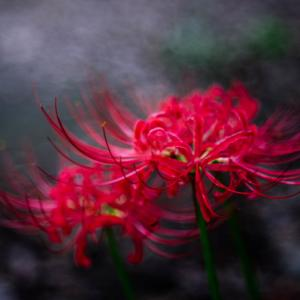 9月の花 その26 ヒガンバナ