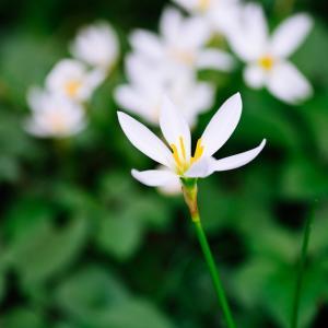 9月の花 その30 タマスダレ