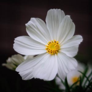 10月の花 その3 コスモス