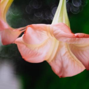 10月の花 その4 トランペットフラワー