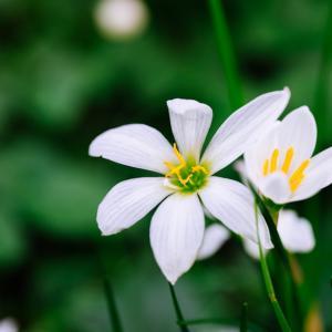 10月の花 その5 タマスダレ
