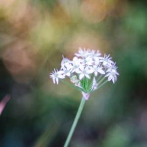 10月の花 その6 ニラの花