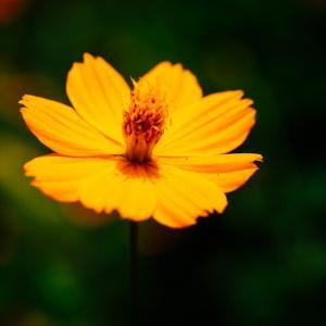 10月の花 その7 キバナコスモス