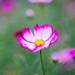 10月の花 その8 コスモス