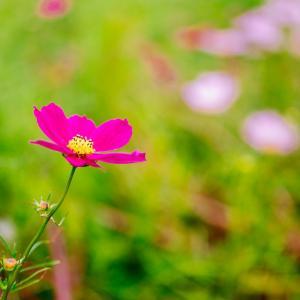 10月の花 その10 コスモス