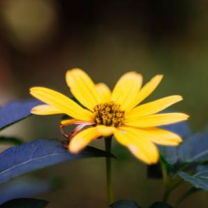 10月の花 その11 キクイモモドキ