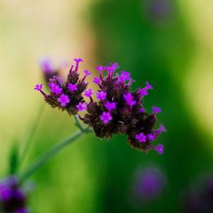 10月の花 その12 ヤナギハナガサ
