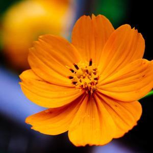 10月の花 その14 キバナコスモス