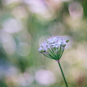 10月の花 その22 韮の花