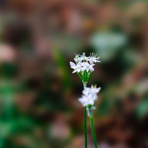 12月の花 その8 韮の花